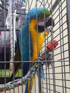 papagajos